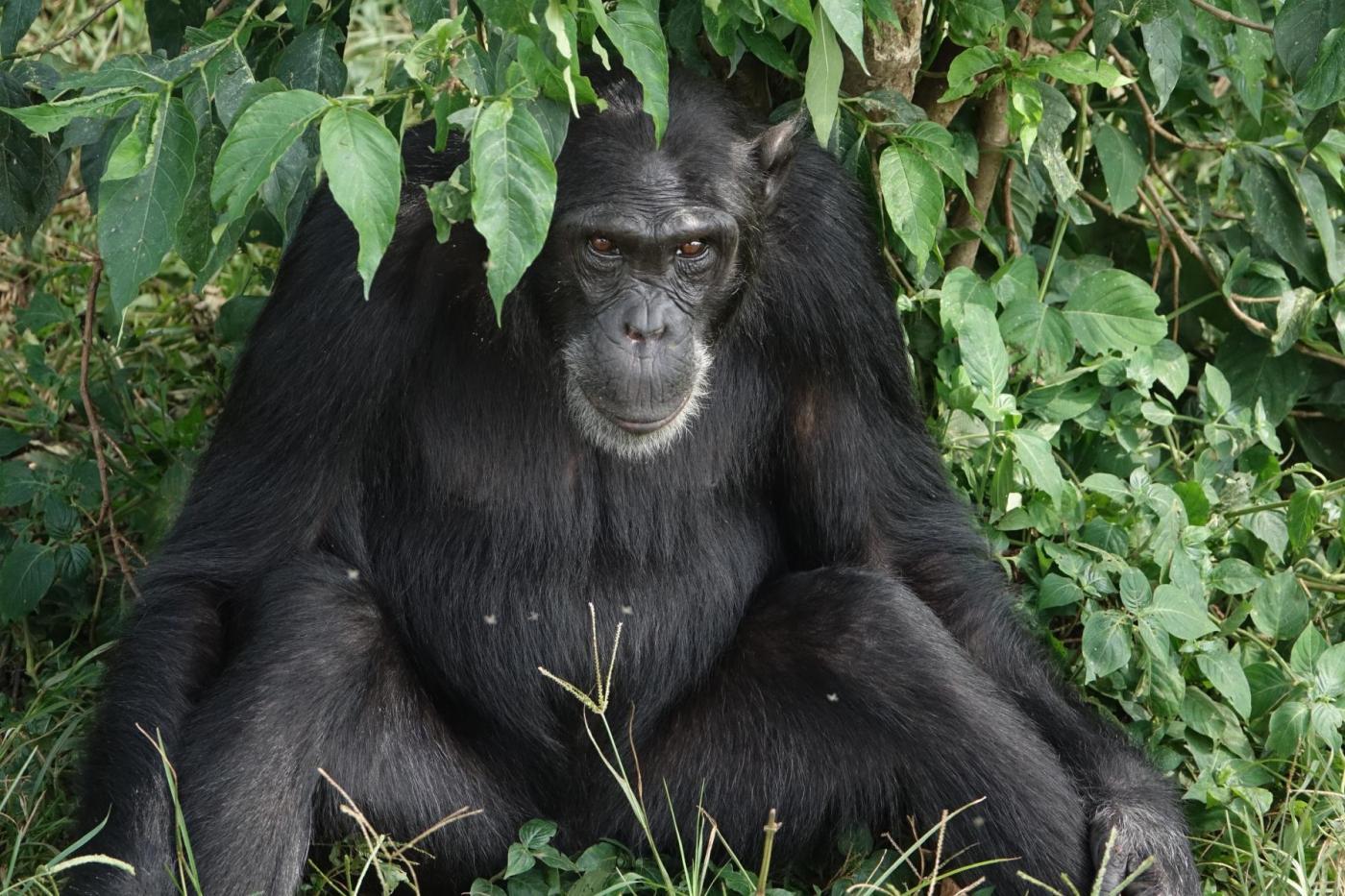Uganda Chimp Trekking